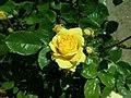 Rosa Arthur Bell 2019-05-29 4116.jpg