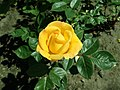 Rosa Arthur Bell 2019-05-29 4123.jpg