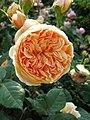 Rosa Crown Princess Margareta01.jpg