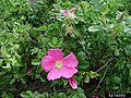 Rosa rugosa inflorescence (29).jpg