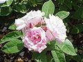 Rosa sp.156.jpg