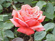 Rosa sp. 172 'Lucy Cramphorn'.jpg