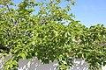Rosales - Morus alba - 3.jpg