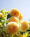 Rose, Graham Thomas, バラ, グラハム トーマス, (10751172716).jpg