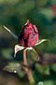 Rose, National Trust - Flickr - nekonomania (2).jpg