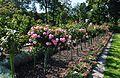 Roses trees.JPG