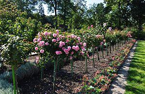 Europa-Rosarium - Rose trees
