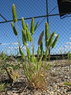 <i>Rostraria cristata</i> species of plant