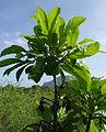 Rubiaceae - plant (12173718185).jpg