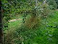Rubus-plicatus-habit.JPG