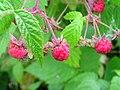 Rubus strigosus 1 (5097504179).jpg