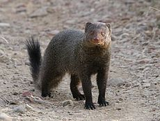 Ruddy mongoose.jpg