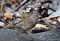 Rufous-crowned Sparrow (33889317201).jpg