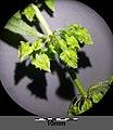 Rumex stenophyllus sl6.jpg
