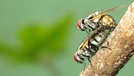 Một cặp ruồi đang giao phối