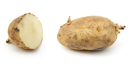 Russet potatoes Russet potato cultivar with sprouts.jpg