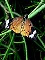 Rwanda Monarch butterfly.jpg