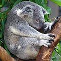 Sa-sleeping-koala-square-crop.jpg