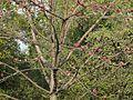 Saanvari (Marathi- सांवरी) (3185187250).jpg