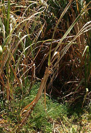 Sukkerrør ved sukkermøllen i Porto da Cruz, Madeira.