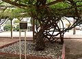 Sacred Heart complex (Tombstone AZ) rose trees 1.JPG