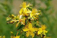Saint John's wort flowers.jpg