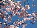 Saint Petersburg. Chinese Garden. Sakura tree2018 04.jpg