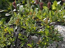 Salicaceae - Salix retusa.jpg