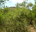 Salix mucronata subsp woodii, habitus, Faerie Glen NR.jpg