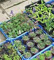 Salvia jurisicii x nutans - Flickr - peganum.jpg
