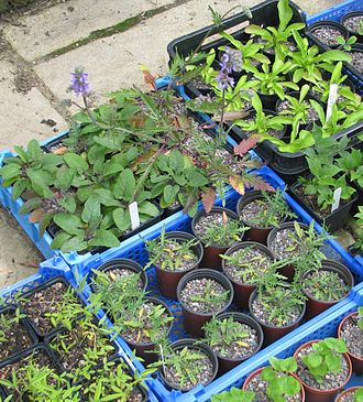 Hybrid (biology) - Hybrid vigour: Salvia jurisicii x nutans hybrids (top centre, with flowers) are taller than their parents Salvia jurisicii (centre tray) or Salvia nutans (top left).