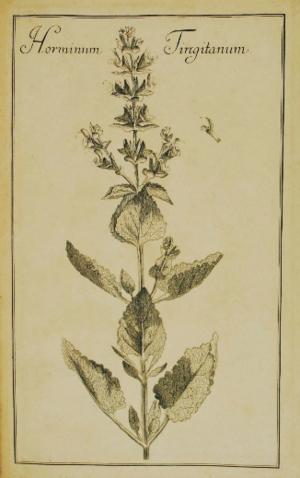 """Augustus Quirinus Rivinus - """"Horminum tingitanum"""" (Salvia tingitana) from Ordo Plantarum 1690"""