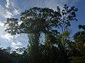 Samaumeira - panoramio.jpg