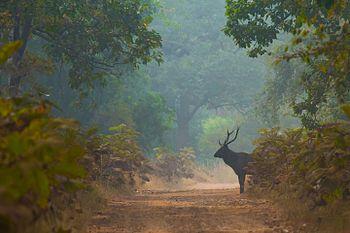 Sambar Deer-6898.jpg