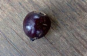 Santalum album - A ripened fruit of Santalum album from  Panchkhal Valley, Nepal.