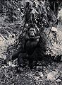 Sarawak; an adult orang-utan (Simia satyrus). Photograph. Wellcome V0037478.jpg