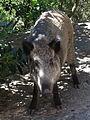 Sardinian wild boar (Sus scrofa meridionalis).JPG