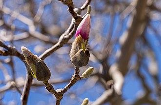 Magnolia × soulangeana - Saucer magnolia buds starting to flower