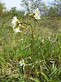 Saxifraga granulata sl5.jpg