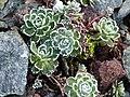 Saxifraga paniculata 'Gourette' 1.JPG