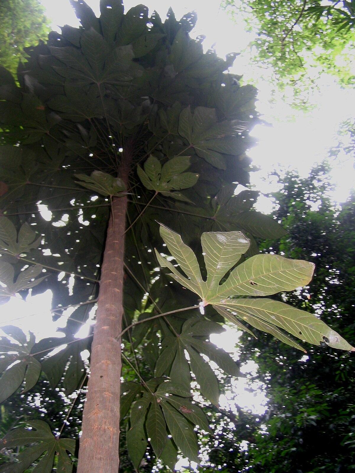 Pokok Kembang Semangkok Wikipedia Bahasa Melayu Ensiklopedia Bebas