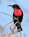 Scarlet-chested sunbird, Chalcomitra senegalensis, at Lake Chivero, Harare, Zimbabwe - male (21680801420).jpg