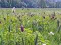 Schachbrettblumen Sinnwiesen 4.jpg