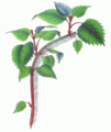 Schizophragma hydrangeoides branch.png