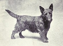 """A drawing of a dog resembling a modern Scottish Terrier."""