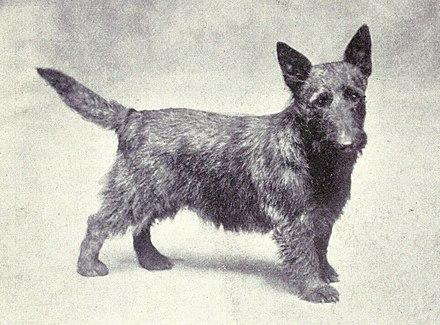Scottish Terrier - Wikiwand