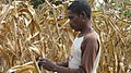 Seeds of life maize.jpg