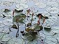 Seerosen im Park des Jatiyo Smriti Soudho.jpg