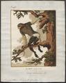 Semnopithecus nemaeus - 1700-1880 - Print - Iconographia Zoologica - Special Collections University of Amsterdam - UBA01 IZ19900033.tif
