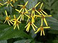 Senecio fuchsii flowers.jpg